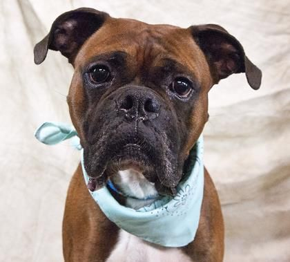 George Is An Adoptable Boxer Searching For A Forever Family Near