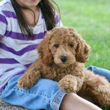 Moyen Poodle Puppies Litter Goldendoodle Moyen Poodle