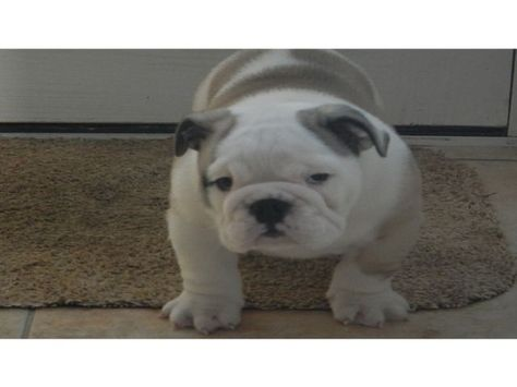 English Bulldog 4 Big And Chunky Kennel Club Registered Dogs
