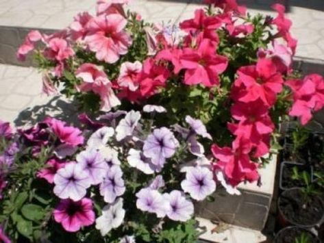 250 Mixed Colors Dwarf Petunia Flower Seeds In 2020 Petunia Flower Flower Seeds Color Mixing