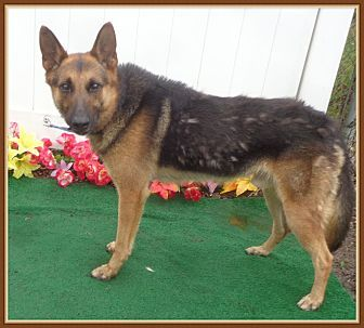 Pictures Of Maxim A German Shepherd Dog For Adoption In Marietta