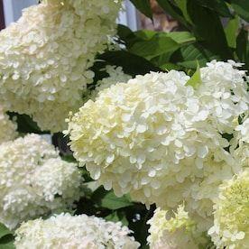 National Plant Network 1 Gallon White Hydrangea Phantom Flowering Shrub In Pot 1 Lowes Com In 2020 Growing Hydrangeas Flowering Shrubs Hydrangea