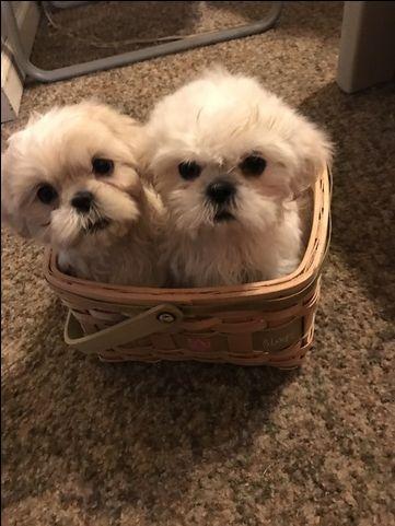 Shih Tzu Puppy For Sale In Plymouth Mi Adn 43495 On Puppyfinder