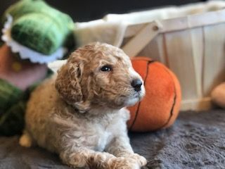 Puppy Application Goldendoodle Doodle Dog Puppies For Sale