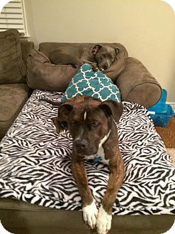 Boxer American Staffordshire Terrier Mix Dog For Adoption In Nyc New York Gilbert Terrier Mix Dogs Cute Funny Animals Dog Love