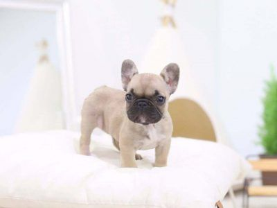 Fabio Fawn Teacup French Bulldog Your Favorite Bulldog Found Here Micro Teacup Puppies Poodle Puppy French Bulldog