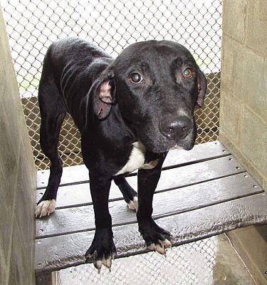 Crenshaw Ms Labrador Retriever Meet Dixon A Pet For Adoption Labrador Retriever