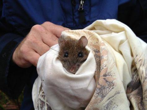 Bush Rat Rattus Fuscipes Australian Nocturnal Omnivore With