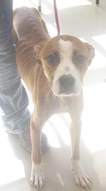 Boxer Unknown Mix Dog For Adoption In Johnson City Tn Usa Adn