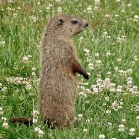 12 Effective Ways To Get Rid Of Groundhogs For Good Get Rid Of Groundhogs Garden Pests Pests