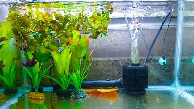 Simple And Easy Cherry Shrimp Tank Setup For Breeding In 2020 Shrimp Tank Cherry Shrimp Red Cherry Shrimp