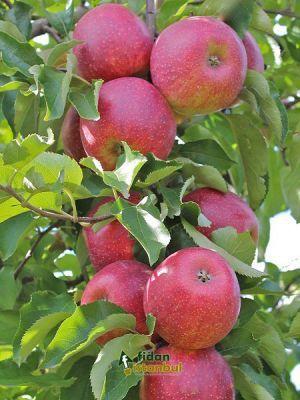 Home Decor Fruit Garden Fruit Bearing Trees Fruit Trees