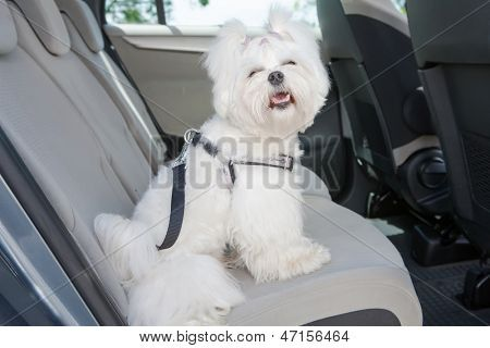 Small Dog Maltese Sitting Safe In The Car On The Back Seat In A Safety Harness Poster Dog Restraint