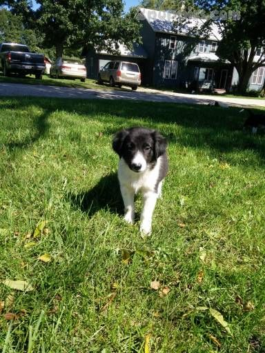 Find Your Dream Puppy Of The Right Dog Breed At Border Collie