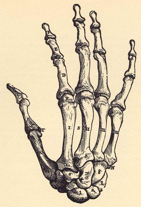 альбом картинка скелет кисти руки зная