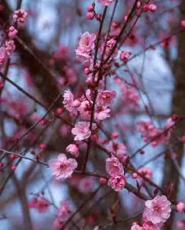 Prunus Blireana Prunus Plum Apricot Flowers