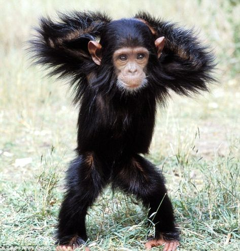 Strutting his stuff: A Chimpanzee appears to show off some of his best dance moves for a wildlife photographer.
