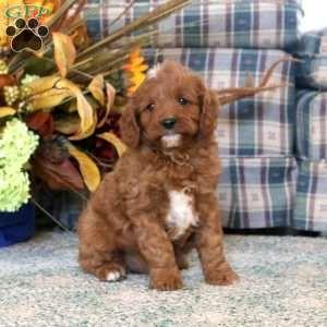 Cavapoo Puppies For Sale Cavapoo Puppies Cavapoo Puppies For Sale Puppies