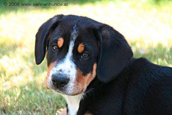 Entlebucher Sennenhund Welpen Appenzeller Sennenhund Welpen Berner