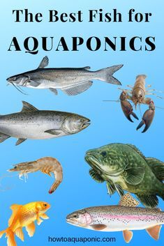 Best Fish for Aquaponics - Choose from 22 Species - HowtoAquaponic