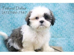 Dogs Puppies For Sale Petland Pet Store Dallas Texas Puppies For Sale Puppies Pets