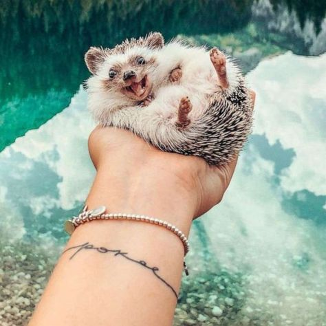 Cutest hedgehog on the internet goes on epic adventures