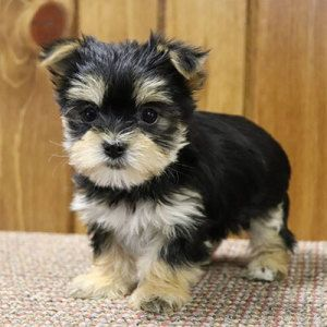 Morkie For Sale Browse The Widest Most Trusted Source Of Morkie