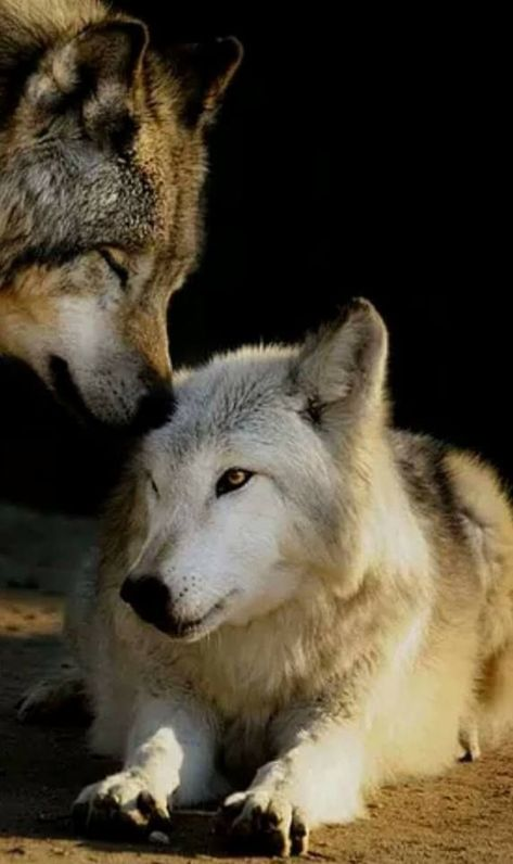 #Wolves/Wolfs   Wolf kiss Photo: ©️️ Daniel Hernanz