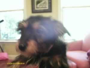 Adopt Sandi Adopted On Yorkie Dogs Yorkshire Terrier Adoption