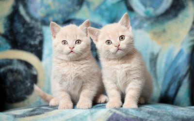 Download Wallpapers British Shorthair Kittens Ginger Cat Domestic Cat Pets Cats Cute Animals British Shorthair Cat Besthqwallpapers Com In 2020 British Shorthair Cats Cute Animals Dog Rescue Idea