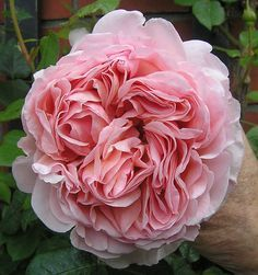 David Austin Rose Abraham Darby......I grew this rose at our old house. The fragrance has a hint of grapefruit....delicious!!!