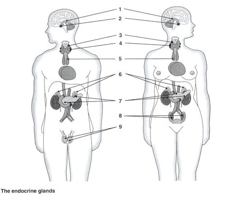 Your Endocrine System Hormonal System Endocrine System Hormones Endocrine System Endocrine