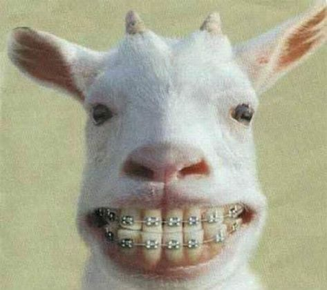 Dental braces are devices used in orthodontics that align and straighten teeth and help to position them with regard to a person's bite, while also working to improve dental health. And here is a funny goat with braces. This goat looks extremely funny in teeth with braces...lol