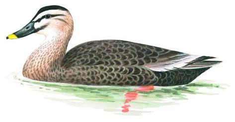 カルガモ 日本の鳥百科 カルガモ 鳥 親子 イラスト