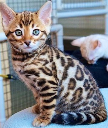 Healthy And Purebred Bengal Cats Kittens For Sale In India Get