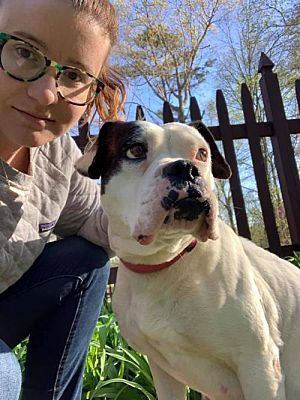 New York Ny American Bulldog Meet Ladybug A Pet For Adoption American Bulldog Pet Adoption Bulldog