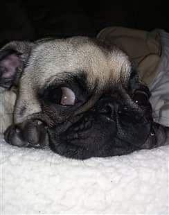 Pug Dog Allergies Dog Allergies Black Pug Puppies Pug Puppies