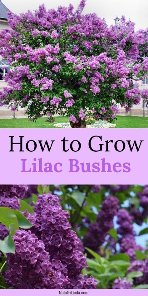 Lilac bushes are fragrant trees that grow large clusters of gorgeous blooms. Learn how to plant and grow lilacs in your own yard! This low-maintenance perennial will beautify your garden for decades to come! perennials How to Grow Lilac Bushes Garden Yard Ideas, Lawn And Garden, Garden Bark, Tree Garden, Garden Table, Full Sun Garden, Garden Wagon, Party Garden, Home And Garden