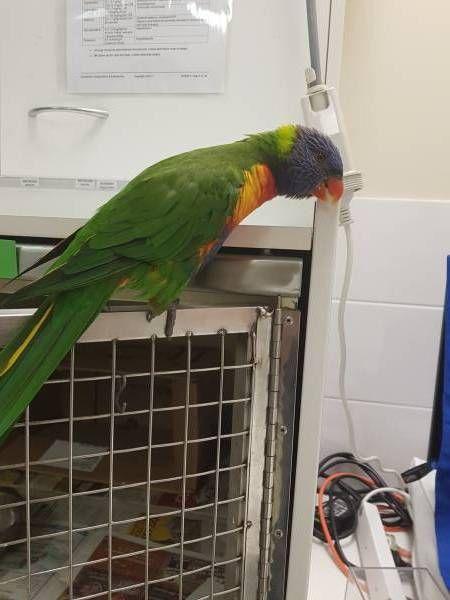 Found Lory Lorikeet Narangba Queensland Qld Australia F41517 Australia Find Pets Lost Found