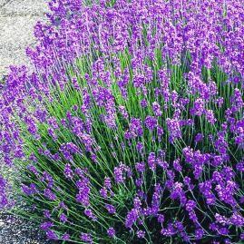 Lavendel vermehren durch Stecklinge
