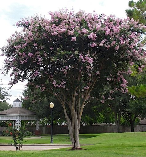 The Crape Myrtle company offers over 50 varities of Miniature, Dwarf, Medium and Standard (Tree) Crape for Sale. We are the ORIGINAL inventors of the Miniature Crape Myrtle. Check out our
