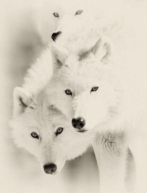 white wolves.