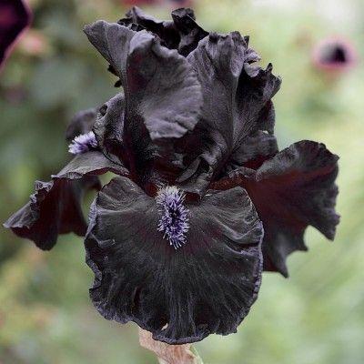 Obsidian Orchid Seeds Rare Flowers Bonsai Flower