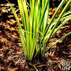 Acorus Calamus Variegatus Sweet Flag Grass Acorus Water Plants Plant Information