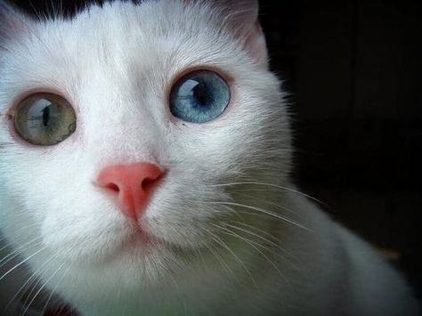 cat with 2 different eye color