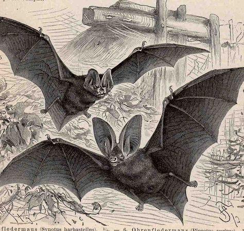 C 1894 Bats Print Original Antique Print Halloween Decor