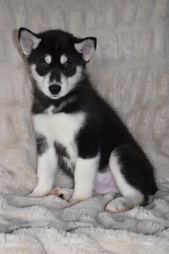 Litter Of 8 Siberian Husky Puppies For Sale In Mound City Ks Adn