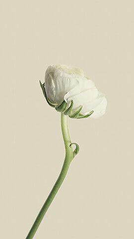 Simple White Flower Wallpaper For Phone In 2019 White