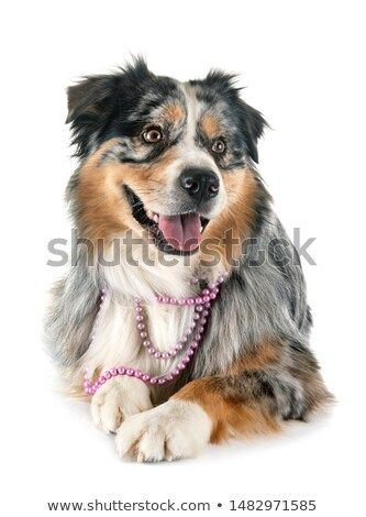 Stock Photo Australian Shepherd In Front Of White Background Dogs Pets Nature Love Australian Shepherd Dogs Pets