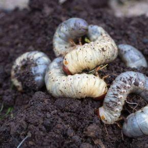 Engerlinge Die Kaferlarven Bestimmen Bekampfen Plantura Engerlinge Schadlinge Im Garten Garden Types